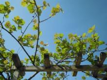 planta_del_kiwi5016